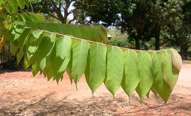 Manfaat daun Cermai Untuk Asma