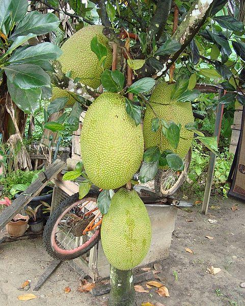 Buah Nangka, buah lokal indonesia dan kandungan gizinya