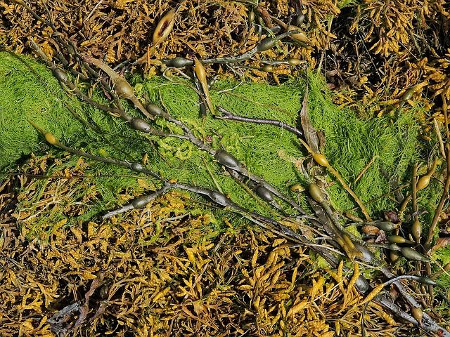 Kandungan dan manfaat rumput laut