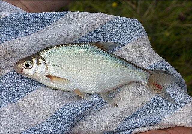 Cara memilih dan mengolah ikan air tawar