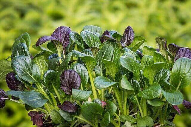Manfaat tanaman Bayam